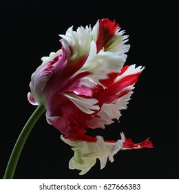 Red and White Parrot Tulip Flower on a black background