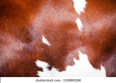 red and white part of hide on side of spotted dutch holstein cow