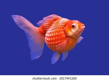 Red and white Peal Scale goldfish on isolated blue background. Carassius auratus is freshwater fish, one of the most popular ornamental fish