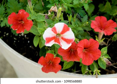 Red and white, Peppermint Striped, Petunias