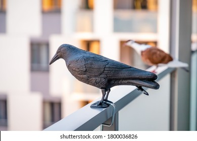 Red white pigeon sitting near the black plastic crow