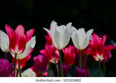 red white pink tulips