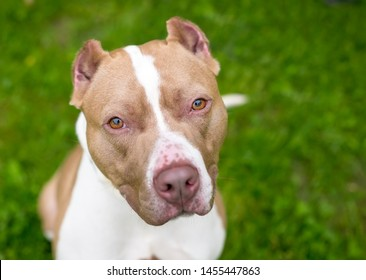 A red and white Pit Bull Terrier mixed breed dog with cropped ears