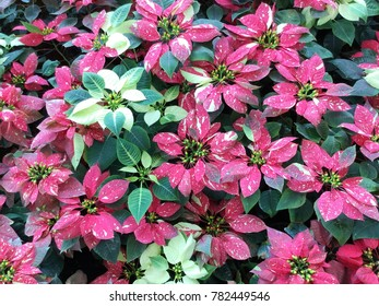 Red and white poinsettia christmas plant