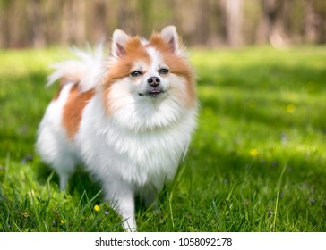 Pomeranian images stock photos vectors shutterstock a red and white pomeranian dog outdoors thecheapjerseys Image collections
