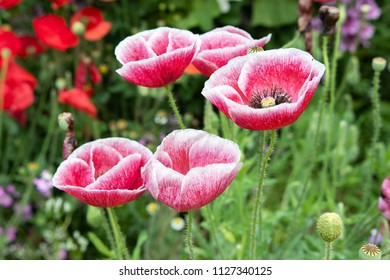 red and white poppy flower