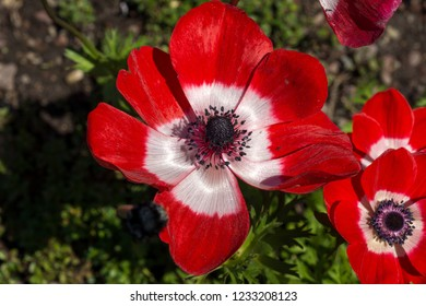 Red and White Poppy-flowered Anemone