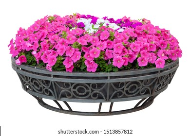 Red, white and purple petunias in a flower bed. Petunias grow in a metal flower bed. Cast iron flowerbed with decorative flowers. Isolated on white.