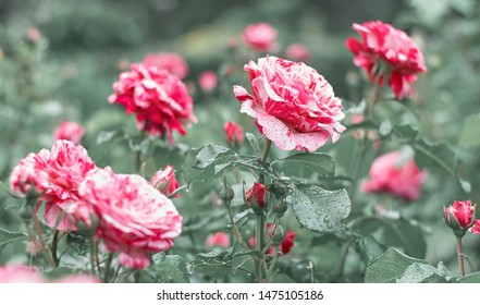Red and white rose flower blooming on background blurry roses in roses garden.