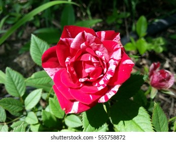 Red and white rose in the tea garden.