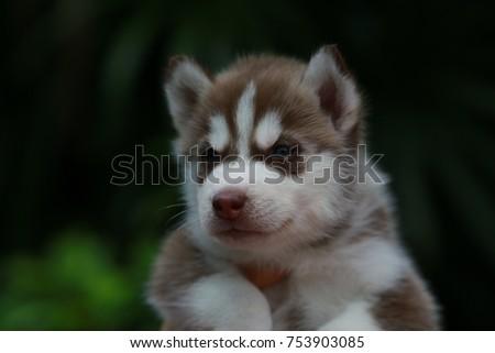 Red White Siberian Husky Puppy Portrait Stock Photo Edit Now