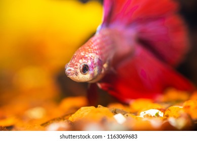 Red and white speckled betta in an aquarium.