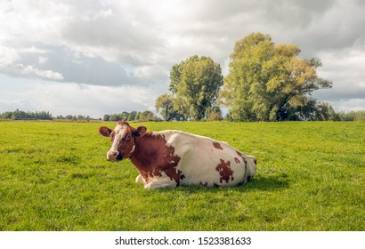 A red and white spotted cow is quietly ruminating in the green pasture. The cow looks curiously at the photographer. The photo was taken in the floodplains of the Dutch river Lek in South Holland.