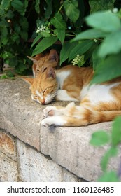 Red and white street cats napping on the wall under the green bush