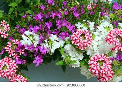 Petunias De Rayas Rojas Y Blancas Y Verbena Blanca En Un Colorido Jardín.