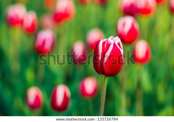 Red and white tulip against the background of green grass and other red tulips