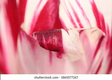 red and white tulip, nature photography