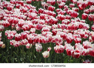 Red with white tulip of the type Toplips illuminated by the sun in a flower bulb field in Noordwijkerhout in the Dutch Bulb Region in spring time