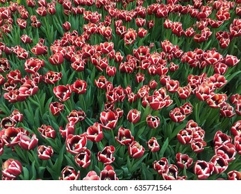Red and white tulips.