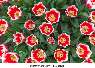 Red and white tulips from the top