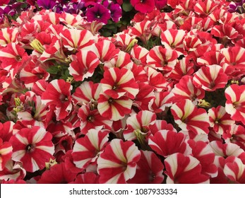 Red and white variegated petunia flowes