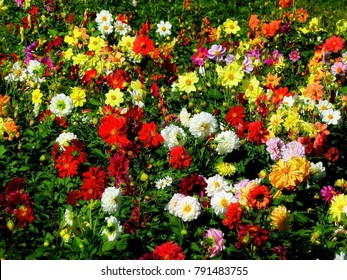 Red, white, yellow dahlia colorful background. View of multicolor dahlia flowers. Beautiful dahlia flowers on green background. Dahlia flowers is genus of plants in sunflower family (Asteracea).