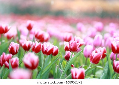 red and whitish tulip flower in garden