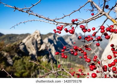 Red wild berries. Dolomites of Basilicata mountains called Dolomiti Lucane. Basilicata region, Italy