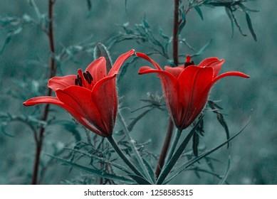 red wild blooming orange lily flowers. In Yakutia (Siberia), Lilium dahuricum, Lilium pensylvanicum called Saranka. Toning of image
