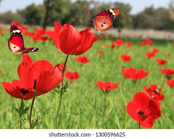 Red wild flowers blossom. Butterflies fly over red anemones blooming on a green meadow on beautiful sunny day