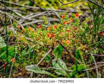 Red wild flowers, closeup