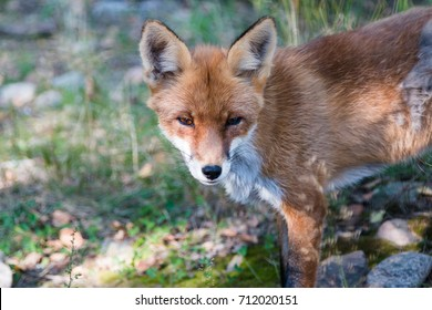 Red wild fox in the belorussian forest. Belovezhskaya pushcha.