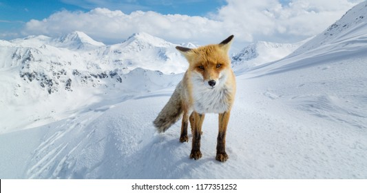 Red wild fox in the snow, on a mountain peak