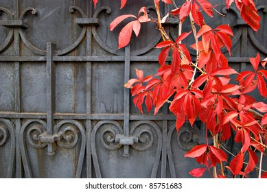 Red wild grapes leaves on a background of cast iron gates.