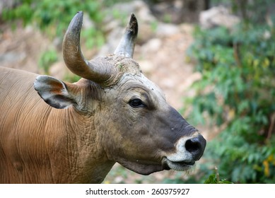 Red Wild ox
