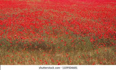 Red wild poppies