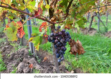 red wine grape in autumn in vineyard