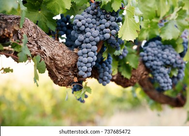 Red wine grapes on old vine branch, green leaves