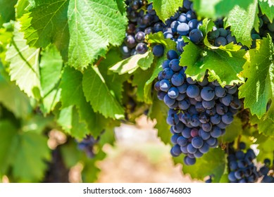Red wine grapes on a vine in a vineyard in Mendoza on a sunny day