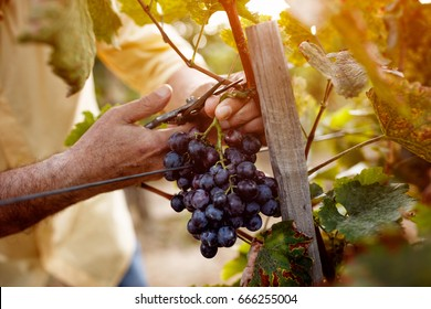 Red wine grapes on vine in vineyard, close-up