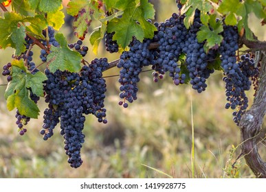Red wine grapes ready to harvest and wine production. Saint Emilion, France