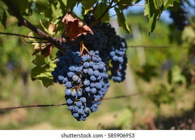 Red wine grapes in San Gimignano vineyards, Tuscany, Italy