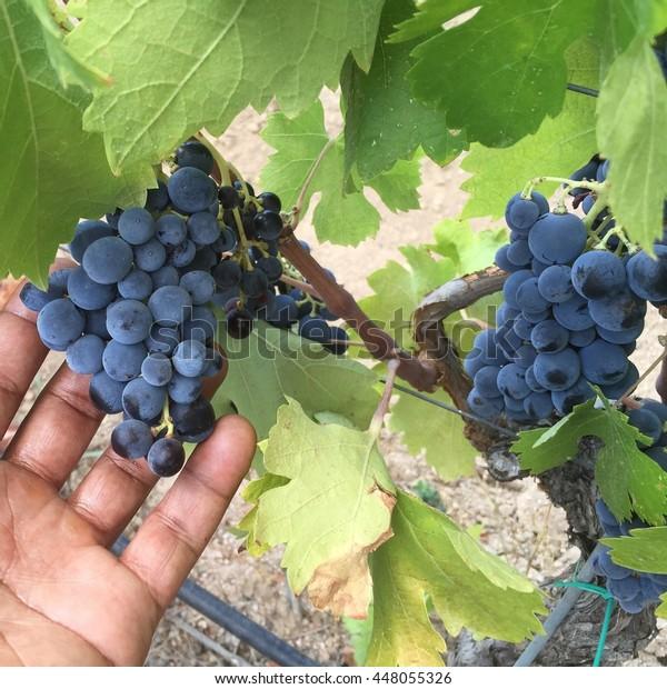 Red wine grapes at a vineyard in Sardinia Italy