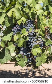 Red wine grapes. Vineyards