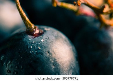 Red wine grapes with water drops. close toned