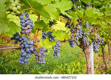 Red wine grapes in a wineyard before harvest in late autumn