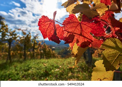 Red wine leaf at the Styrian Winestreet in Austria