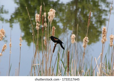 Red Wing Black Bird in the Bog