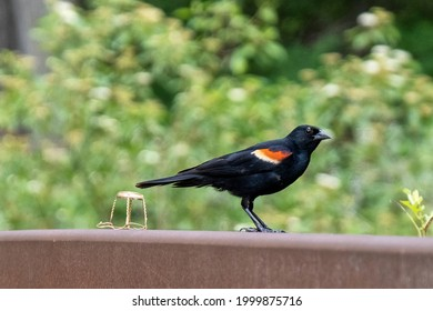 Red Wing Black Bird on a railing beside a discarded muselet