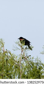 Red winged blackbird Agelaius phoeniceus perches on a tree in Naples, Florida